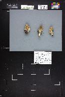 Coprinopsis lagopides image