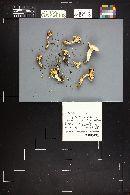 Hygrophorus erubescens image