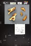 Hygrophorus ponderatus image
