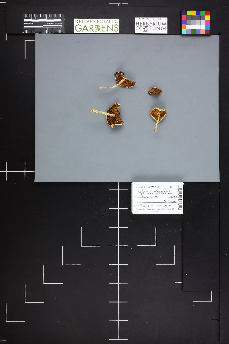 Hebeloma album image