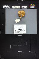 Melanoleuca grammopodia image