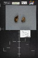 Suillus lakei var. pseudopictus image