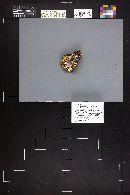 Hygrophorus marzuolus image