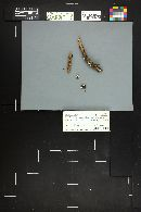 Crepidotus occidentalis image
