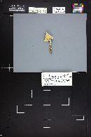 Amanita prairiicola image