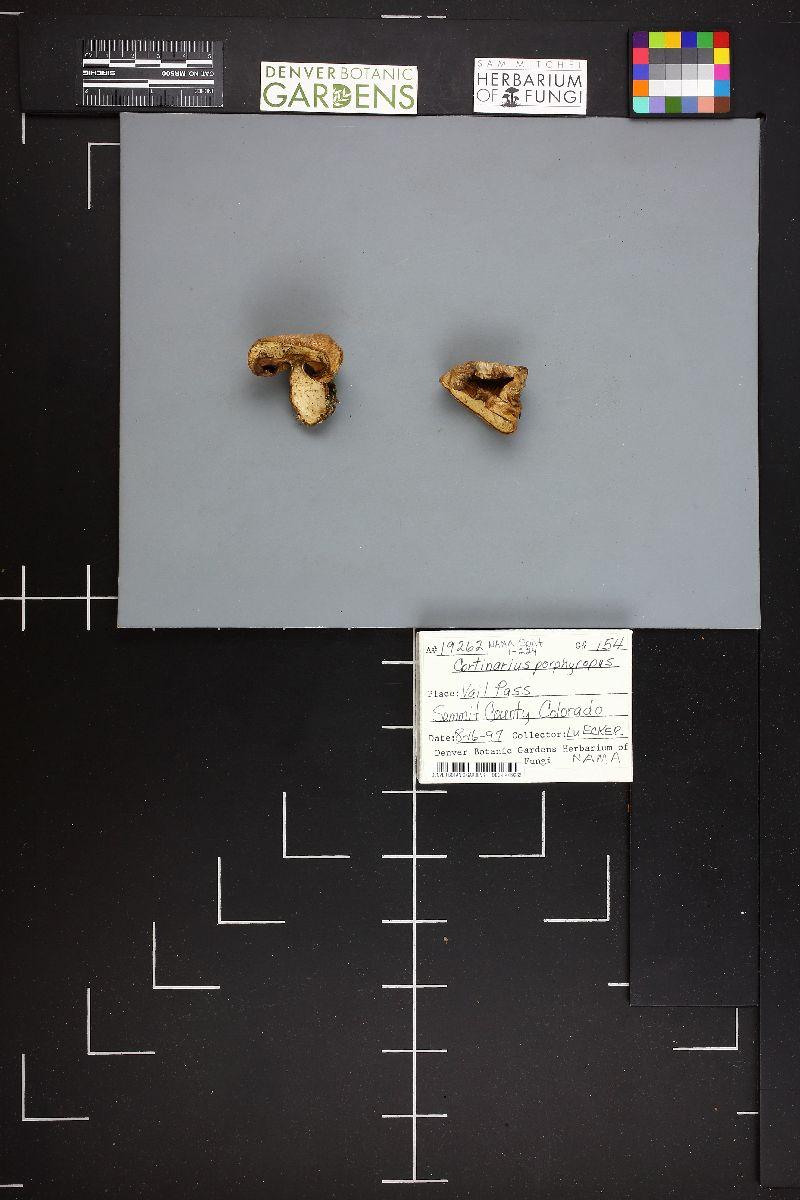 Cortinarius porphyropus image
