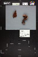 Cortinarius cupreorufus image
