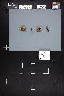 Amanita groenlandica image