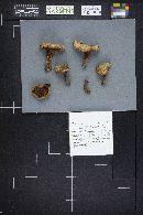 Paxillus involutus image
