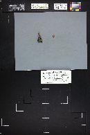 Xeromphalina picta image