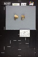 Hohenbuehelia petalodes image