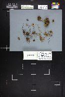 Hebeloma flaccidum image