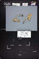 Amanita vaginata var. alba image