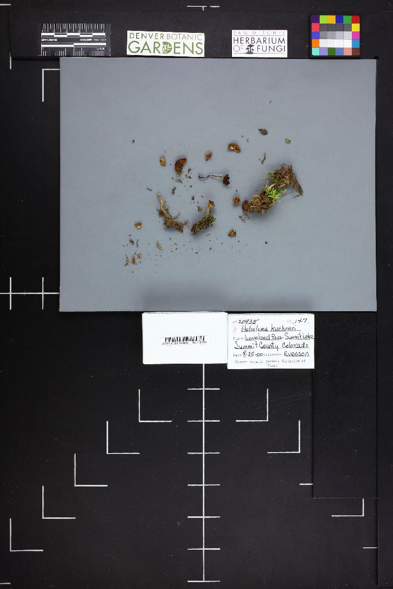 Hebeloma kuehneri image