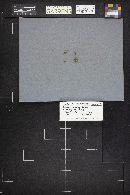 Scutellinia kerguelensis image