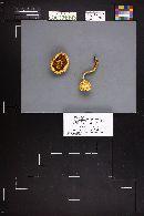 Pholiota squarrosa image
