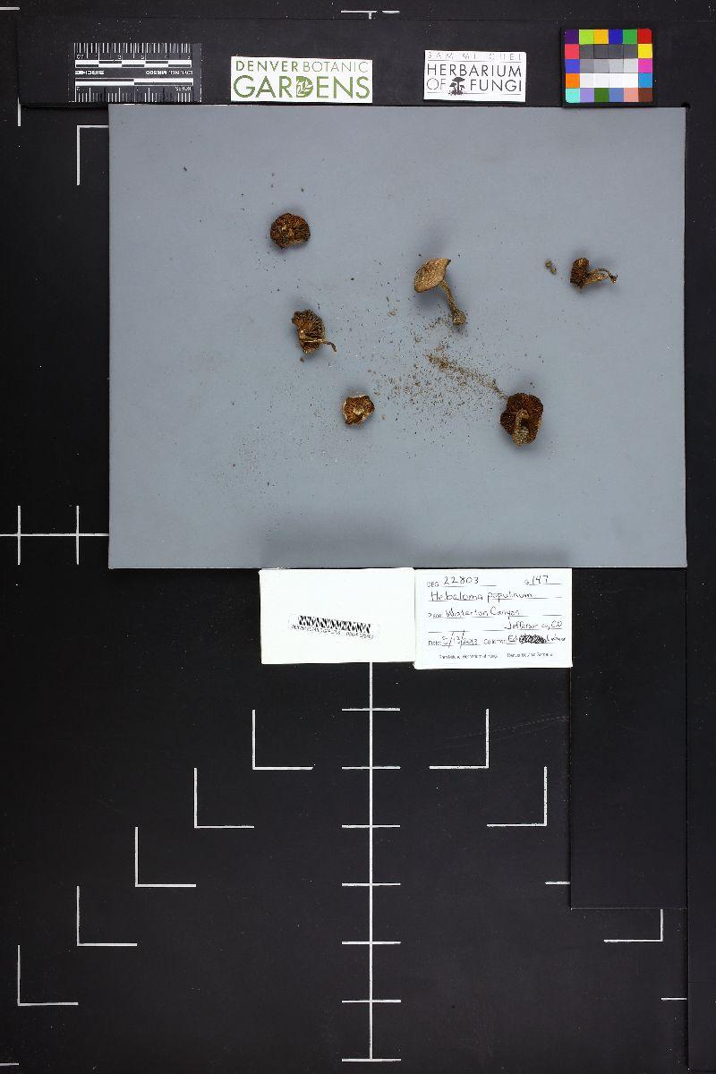 Hebeloma populinum image