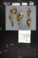 Hygrophorus purpurascens image