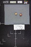 Russula nana image