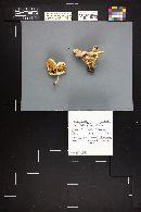 Pluteus pouzarianus image
