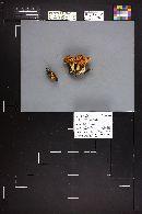 Pholiota lubrica image
