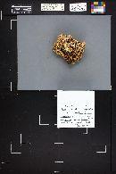 Ramaria cystidiophora image