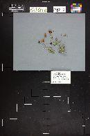 Agrocybe pusiola image