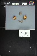 Lepiota roseolivida image