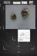 Phellinus tremulae image