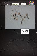 Gymnopus fuscopurpureus image