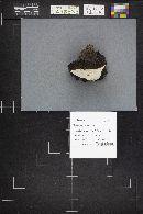 Fomitopsis rosea image