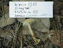 Gymnopus subsulphureus image