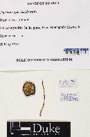 Parasola galericuliformis image