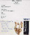 Spathularia flavida image