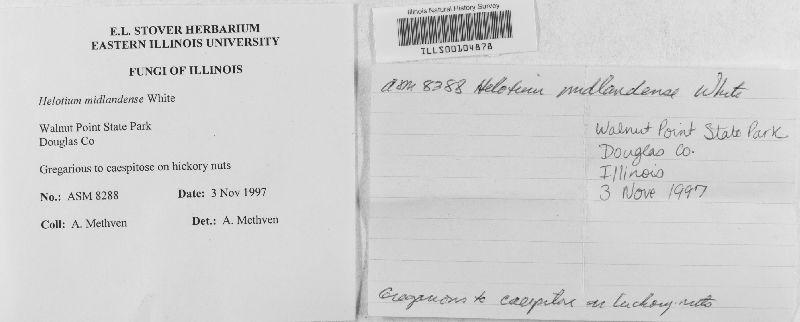 Helotium midlandensis image