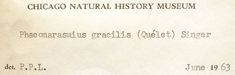 Flammulaster gracilis image