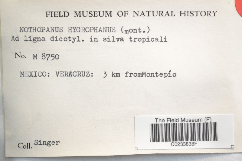 Nothopanus hygrophanus image