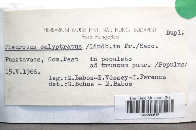 Pleurotus calyptratus image