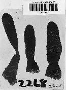 Xylaria corniformis image