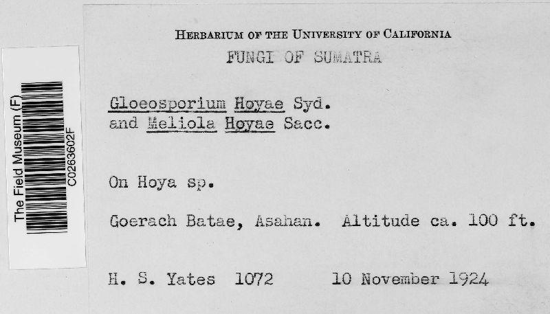 Gloeosporium hoyae image