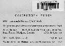 Capitotricha bicolor image