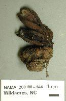Wynnea americana image