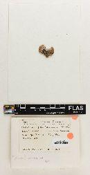 Hebeloma floridanum image