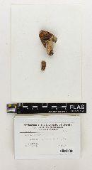 Russula obscuriformis image
