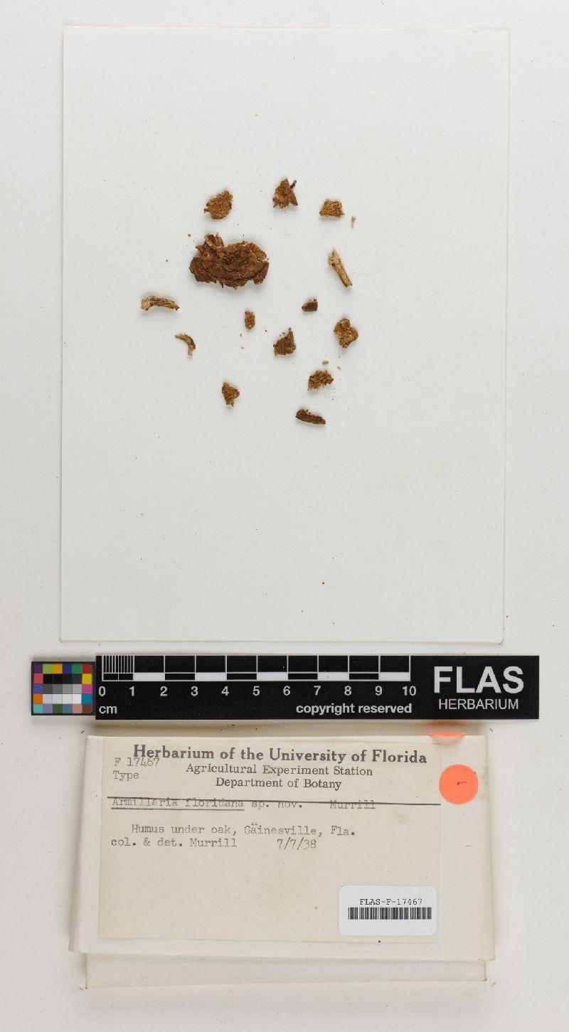 Armillaria floridana image