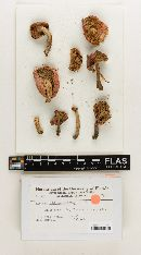 Russula subfragiliformis image