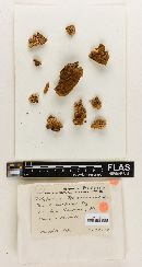Navisporus sulcatus image