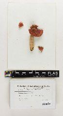 Russula floridana image