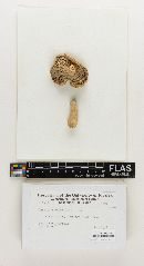 Russula subgranulosa image