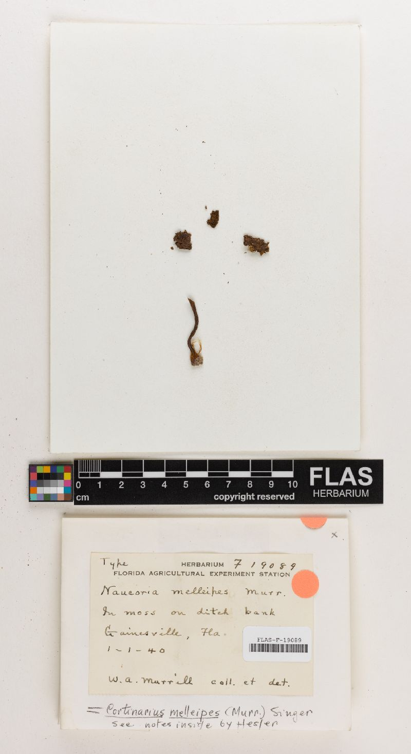 Naucoria melleipes image